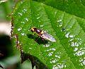 Chlorops cf pumilionis - Flickr - gailhampshire.jpg