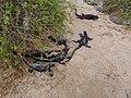 Christmas Iguanas - Marine Iguanas - Espanola - Hood - Galapagos Islands - Ecuador (4871392646).jpg