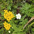 Chrysanthemum rupestre and Parnassia palustris.jpg