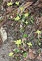 Chrysosplenium nagasei s10.jpg