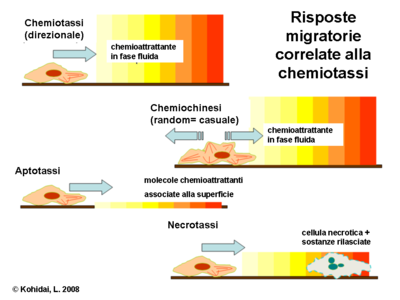 Risposte migratorie correlate alla chemiotassi