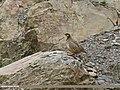 Chukar Partridge (Alectoris chukar) (27071251682).jpg