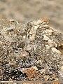 Chukar Partridge (Alectoris chukar) (42276345945).jpg