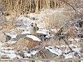 Chukar Partridge (Alectoris chukar) (48088971647).jpg