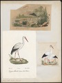 Ciconia alba - 1700-1880 - Print - Iconographia Zoologica - Special Collections University of Amsterdam - UBA01 IZ17600023.tif