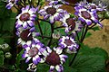 Cineraria at lalbagh7319.JPG