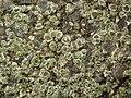 Circinaria contorta 62010354.jpg