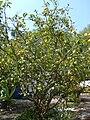 Citrus limon - Lemon tree - Limonero - Limoeiro.JPG