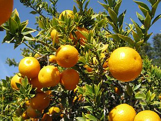 Citrus myrtifolia - Chinotto oranges growing on a tree