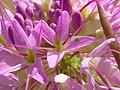 Cleome serrulata (5006015055).jpg
