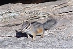 Cliff chipmunk.jpg