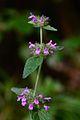 Clinopodium vulgare (8402662385).jpg