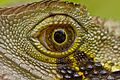 Close-up eye view of Australian Water Dragon (IMG8720).jpg