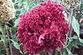 Cockscomb or Celosia cristata7336.JPG
