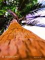 Coconut tree 4.jpg