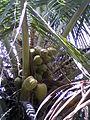 Coconuts on a tree at Gajuwaka.jpg
