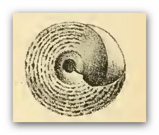 <i>Coelotrochus</i> genus of molluscs