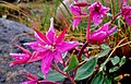 Cold Fireweed (4835599925).jpg