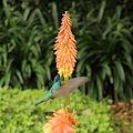 Colibri thalassinus-IMG 9046.JPG