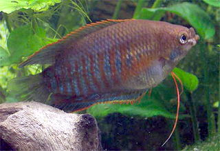 Thick-lipped gourami species of fish