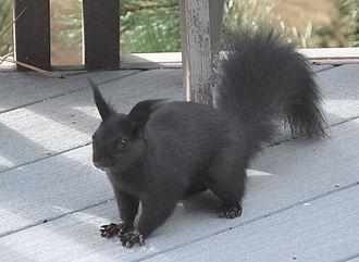 Abert's squirrel - Sciurus aberti ferreus: foothills west of Denver