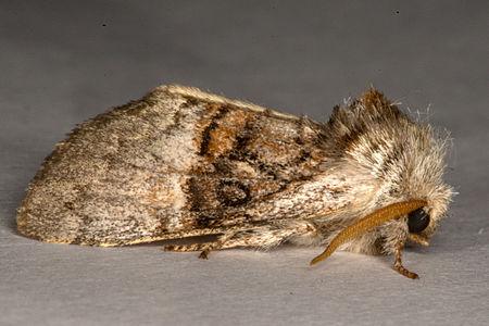 Colocasia coryli, Lodz(Poland)03(js).jpg