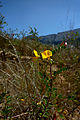 Colutea hispanica0479.jpg