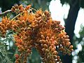 Colvillea racemosa (1094743981).jpg
