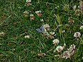 Common Blue on clover - geograph.org.uk - 1366096.jpg