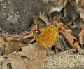 Common Castor (Ariadne merione) at Jayanti, Duars, West Bengal W Picture 381.jpg
