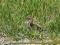Common Cuckoo (Cuculus canorus) (32730735606).jpg