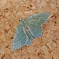 Common Emerald. Hemithea aestivaria - Flickr - gailhampshire (1).jpg