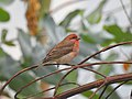 Common Rosefinch (Carpodacus erythrinus) male.jpg