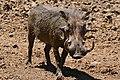 Common Warthog (Phacochoerus africanus) male (32241531014).jpg