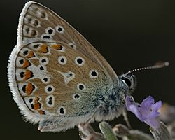 Common blue butterfly.jpg