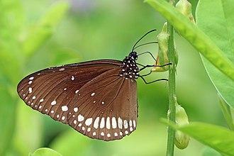 Euploea core - E. c. core Kumarakom, Kerala