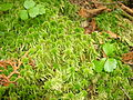 Common green peat moss (Orphan Lk) 3.JPG