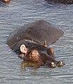 Common hippopotamus, Hippopotamus amphibius, at Letaba, Kruger National Park, South Africa (19605704733).jpg