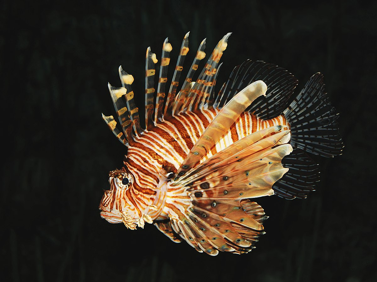 lion fish One of the most photogenic fish you are likely to come across when scuba diving  is the lionfish a fish as beautiful as it is dangerous often found lurking in quiet.