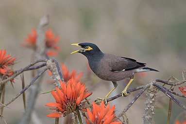 Common myna at Satchari National Park.jpg