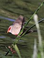 Common waxbill, Estrilda astrild, at Rietvlei Nature Reserve, Gauteng, South Africa (22599626420).jpg