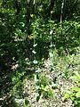 Conringia austriaca sl18.jpg