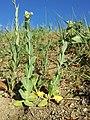 Conringia orientalis sl33.jpg