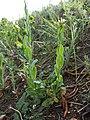 Conringia orientalis sl8.jpg
