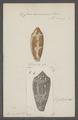 Conus auricomus - - Print - Iconographia Zoologica - Special Collections University of Amsterdam - UBAINV0274 085 10 0095.tif