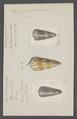 Conus generalis - - Print - Iconographia Zoologica - Special Collections University of Amsterdam - UBAINV0274 086 07 0047.tif
