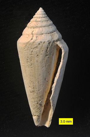 Conus - Fossil Conus pelagicus from the Pliocene of Cyprus
