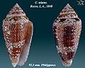 Conus telatus 1.jpg