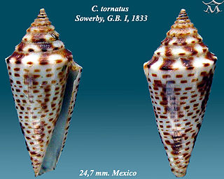 <i>Globiconus</i> Subgenus of gastropods