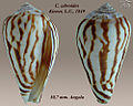 Conus zebroides 2.jpg